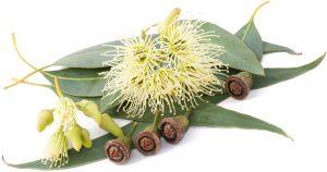 eucalyptus_radiata02