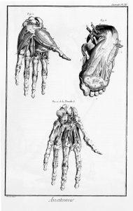Anatomie - Main et pied