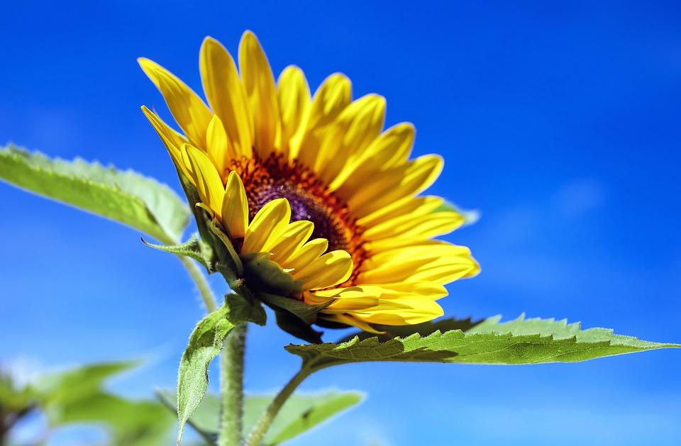 sun-flower-1536088_960_720