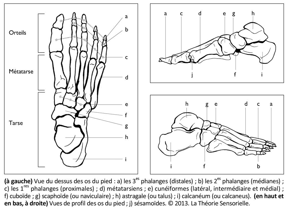 07-F1-2-3-araire-pied-propulsion-station-debout-equilibre-mouvement-dynamique-analogie-neuroscience-anatomie