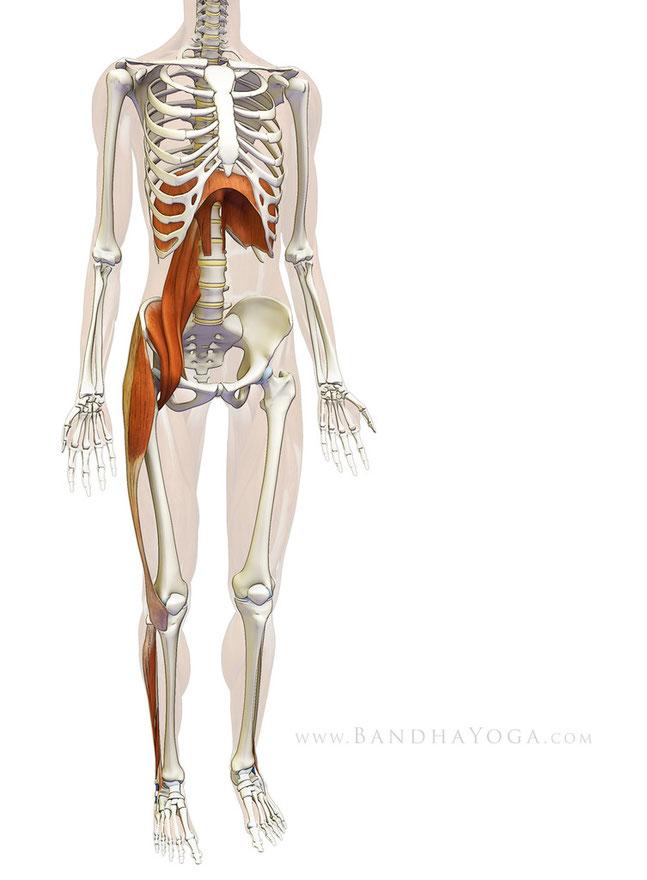 psoas diaphragme